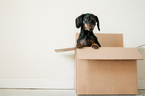 dog sitting in a moving box